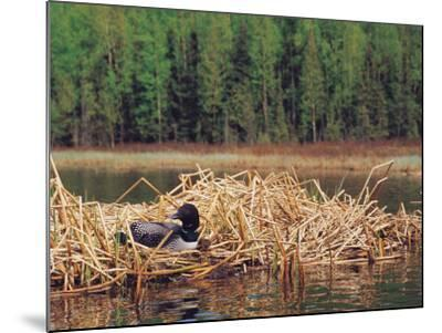Loon on Nest in Water-Mike Robinson-Mounted Photographic Print