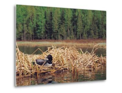 Loon on Nest in Water-Mike Robinson-Metal Print