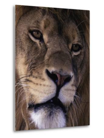 African Lion, Panthera Leo-D^ Robert Franz-Metal Print
