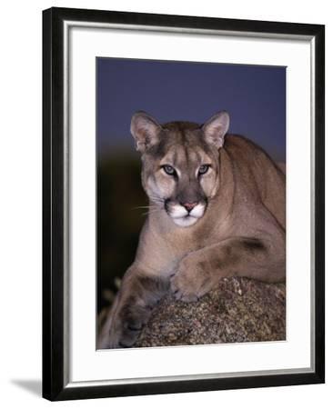 Mountain Lion on Rock at Dusk, Felis Concolor-D^ Robert Franz-Framed Photographic Print