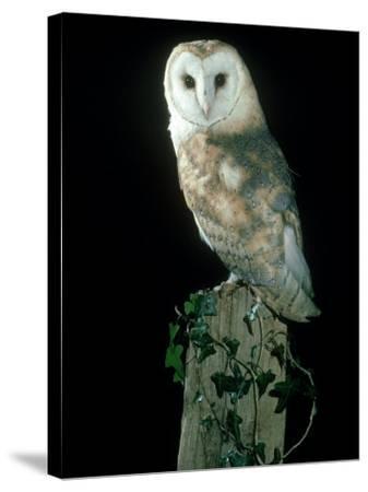 Barn Owl-Mark Hamblin-Stretched Canvas Print
