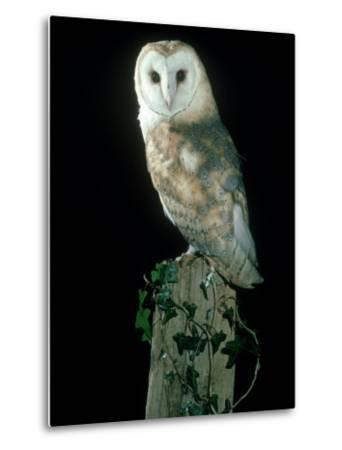Barn Owl-Mark Hamblin-Metal Print