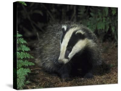 Badger, Close-up of Cub in Pine Woodland, UK-Mark Hamblin-Stretched Canvas Print