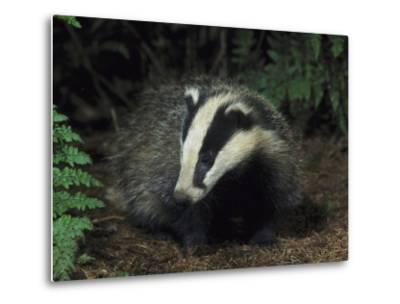 Badger, Close-up of Cub in Pine Woodland, UK-Mark Hamblin-Metal Print