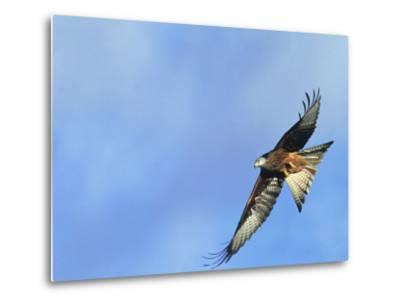 Red Kite, Flying Over Feeding Station, Powys, UK-Richard Packwood-Metal Print