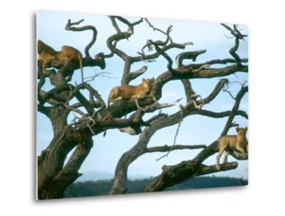 Lionesses in Dead Acacia Tree, Tanzania-Mary Plage-Metal Print