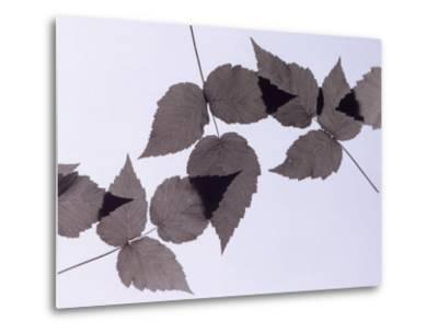 Backlit Leaves-Howard Sokol-Metal Print