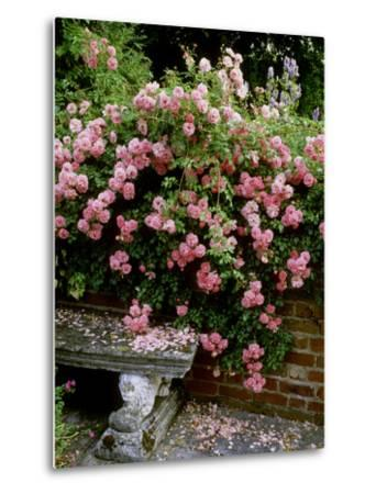 """""""Pheasant"""" Rose Cascades Over Wall onto Stone Bench-Ron Evans-Metal Print"""