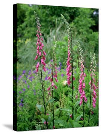Striking Spires of Purple/Pink Flowers of Digitalis Purphrea, the Common Foxglove-Ron Evans-Stretched Canvas Print