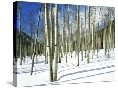 Morning Light on Aspen Grove in Winter, Colorado, USA-Willard Clay-Stretched Canvas Print