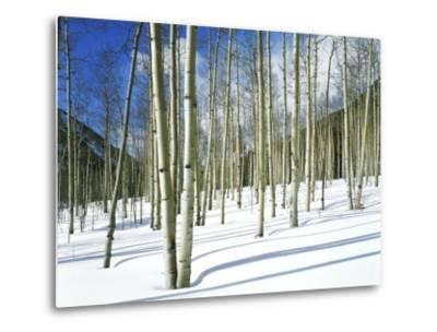 Morning Light on Aspen Grove in Winter, Colorado, USA-Willard Clay-Metal Print