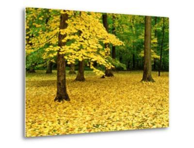 Maple Leaves and Trees in Fall Colour at Funks Grove, Il-Willard Clay-Metal Print