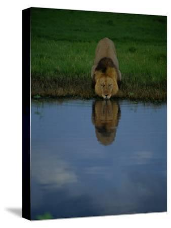 A Male Lion in His Prime Drinking from a Pool-Beverly Joubert-Stretched Canvas Print
