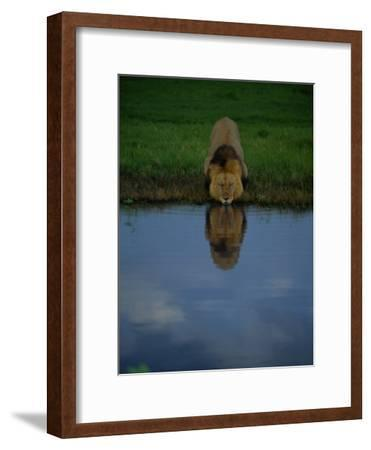 A Male Lion in His Prime Drinking from a Pool-Beverly Joubert-Framed Photographic Print