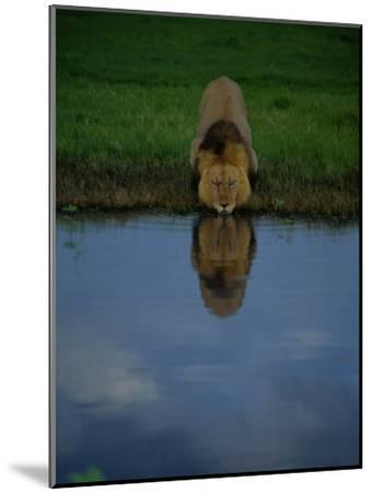 A Male Lion in His Prime Drinking from a Pool-Beverly Joubert-Mounted Photographic Print