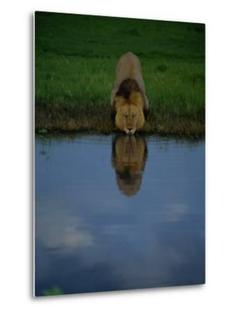 A Male Lion in His Prime Drinking from a Pool-Beverly Joubert-Metal Print