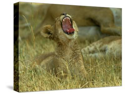 A Small Lion Cub Raises its Head into the Air and Yawns-Beverly Joubert-Stretched Canvas Print