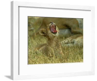 A Small Lion Cub Raises its Head into the Air and Yawns-Beverly Joubert-Framed Photographic Print