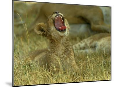 A Small Lion Cub Raises its Head into the Air and Yawns-Beverly Joubert-Mounted Photographic Print