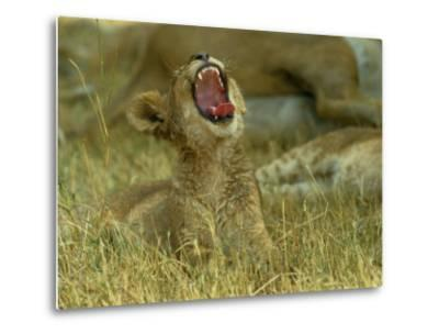 A Small Lion Cub Raises its Head into the Air and Yawns-Beverly Joubert-Metal Print