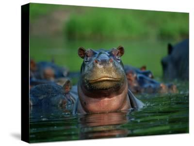 A Herd of Hippopotamuses-Beverly Joubert-Stretched Canvas Print