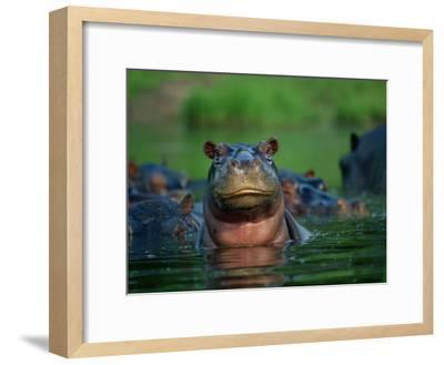 A Herd of Hippopotamuses-Beverly Joubert-Framed Photographic Print