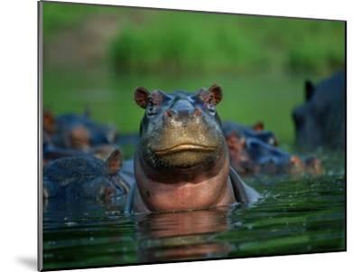 A Herd of Hippopotamuses-Beverly Joubert-Mounted Photographic Print