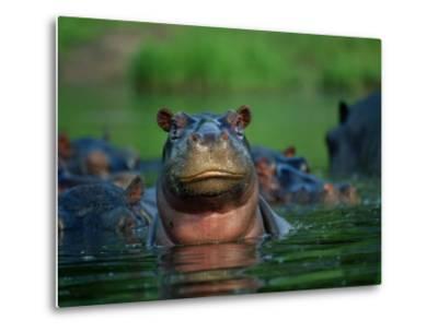 A Herd of Hippopotamuses-Beverly Joubert-Metal Print