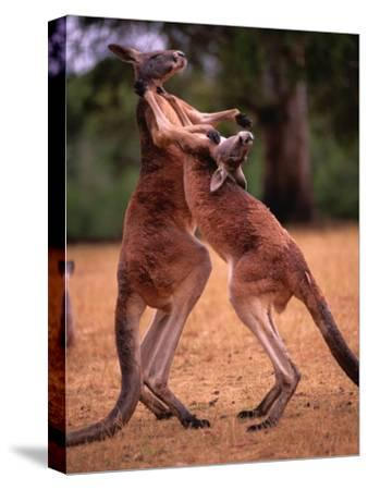 Two Kangaroos Spar with One Another-Medford Taylor-Stretched Canvas Print