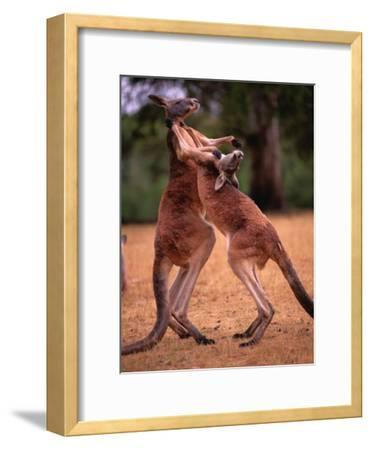 Two Kangaroos Spar with One Another-Medford Taylor-Framed Photographic Print