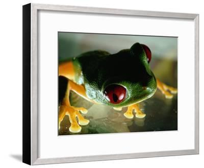 Close-up of a Red-Eyed Tree Frog-Paul Zahl-Framed Photographic Print