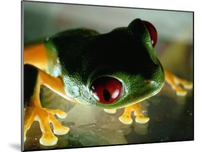 Close-up of a Red-Eyed Tree Frog-Paul Zahl-Mounted Photographic Print