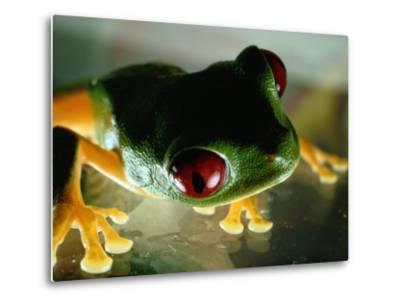 Close-up of a Red-Eyed Tree Frog-Paul Zahl-Metal Print