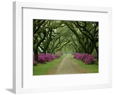 A Beautiful Pathway Lined with Trees and Purple Azaleas-Sam Abell-Framed Premium Photographic Print