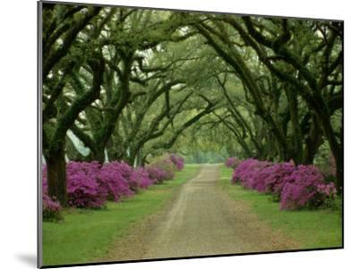 A Beautiful Pathway Lined with Trees and Purple Azaleas-Sam Abell-Mounted Premium Photographic Print