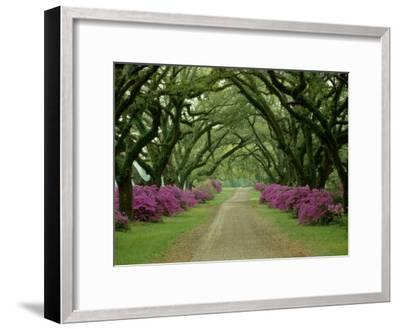 A Beautiful Pathway Lined with Trees and Purple Azaleas-Sam Abell-Framed Photographic Print
