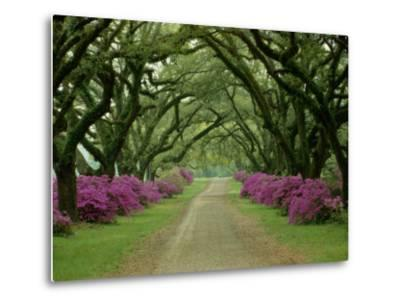 A Beautiful Pathway Lined with Trees and Purple Azaleas-Sam Abell-Metal Print