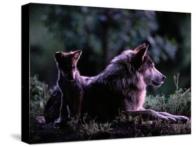 Captive Wolf Pup with Parent-Joel Sartore-Stretched Canvas Print