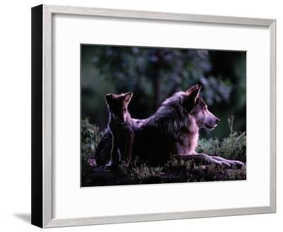 Captive Wolf Pup with Parent-Joel Sartore-Framed Photographic Print