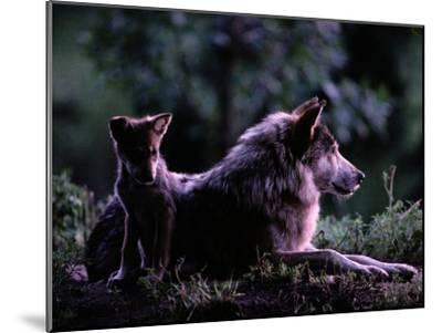 Captive Wolf Pup with Parent-Joel Sartore-Mounted Photographic Print