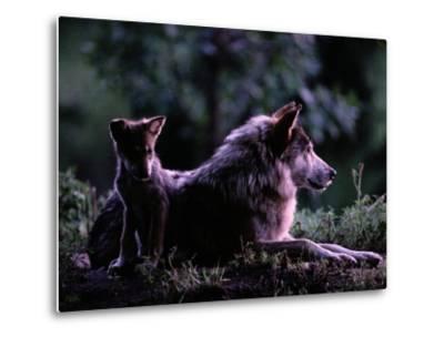 Captive Wolf Pup with Parent-Joel Sartore-Metal Print