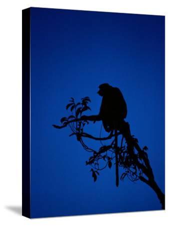 Silhouetted Proboscis Monkey (Nasalis Larvatus)-Mattias Klum-Stretched Canvas Print