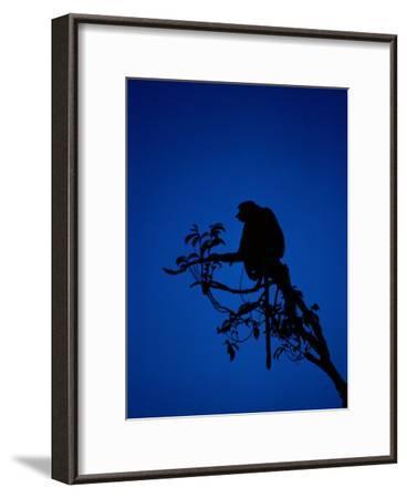 Silhouetted Proboscis Monkey (Nasalis Larvatus)-Mattias Klum-Framed Photographic Print
