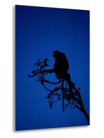 Silhouetted Proboscis Monkey (Nasalis Larvatus)-Mattias Klum-Metal Print