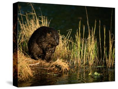 A Beaver Perches on the Waters Edge Near Quabbin Reservoir-Tim Laman-Stretched Canvas Print