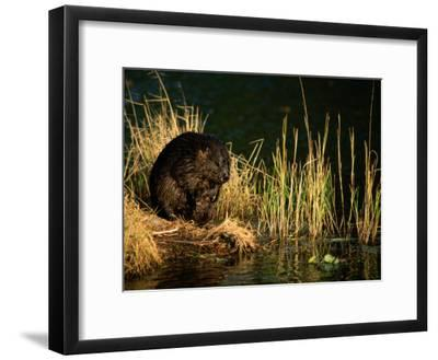 A Beaver Perches on the Waters Edge Near Quabbin Reservoir-Tim Laman-Framed Photographic Print