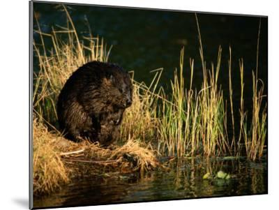 A Beaver Perches on the Waters Edge Near Quabbin Reservoir-Tim Laman-Mounted Photographic Print