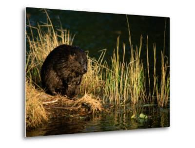 A Beaver Perches on the Waters Edge Near Quabbin Reservoir-Tim Laman-Metal Print