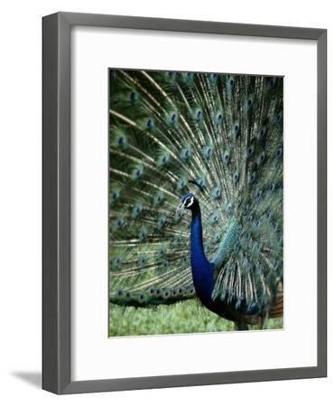 A Captive Male Peacock Displaying His Feathers-Tim Laman-Framed Photographic Print