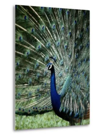 A Captive Male Peacock Displaying His Feathers-Tim Laman-Metal Print